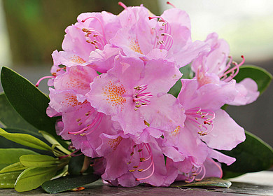 Rhododendron blühend in rosa